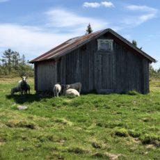 Beitedyr og gjerder rundt hytta